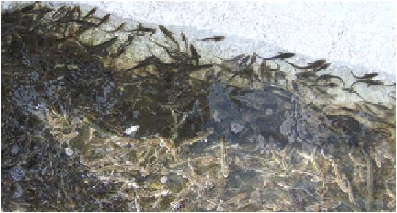ribki